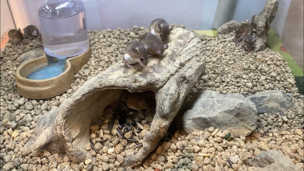 コビトハツカネズミ
